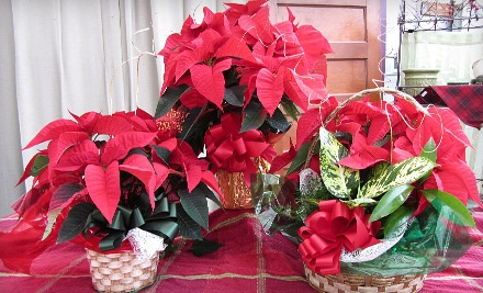 $10 for Choice of Holiday-Poinsettia Plant Package at Plant Farm (Up to $22.99 Value)