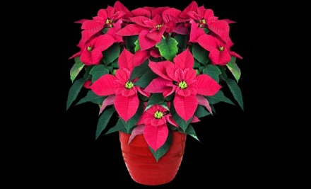 $15 for One Potted Poinsettia at Linder's Garden Center in St. Paul ($30 Value)