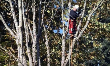 $99 for $300 Worth of Tree-Removal Services from Arbor Barber Tree Service