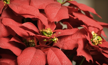 Poinsettia or $25 for $50 Worth of Flowers and Gifts from Rebecca's Flowers in Broken Arrow (Half Off)