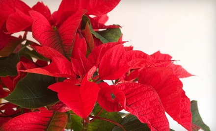 Poinsettia or Holiday Wreath at Frances Flower Shop (Up to 60% Off)
